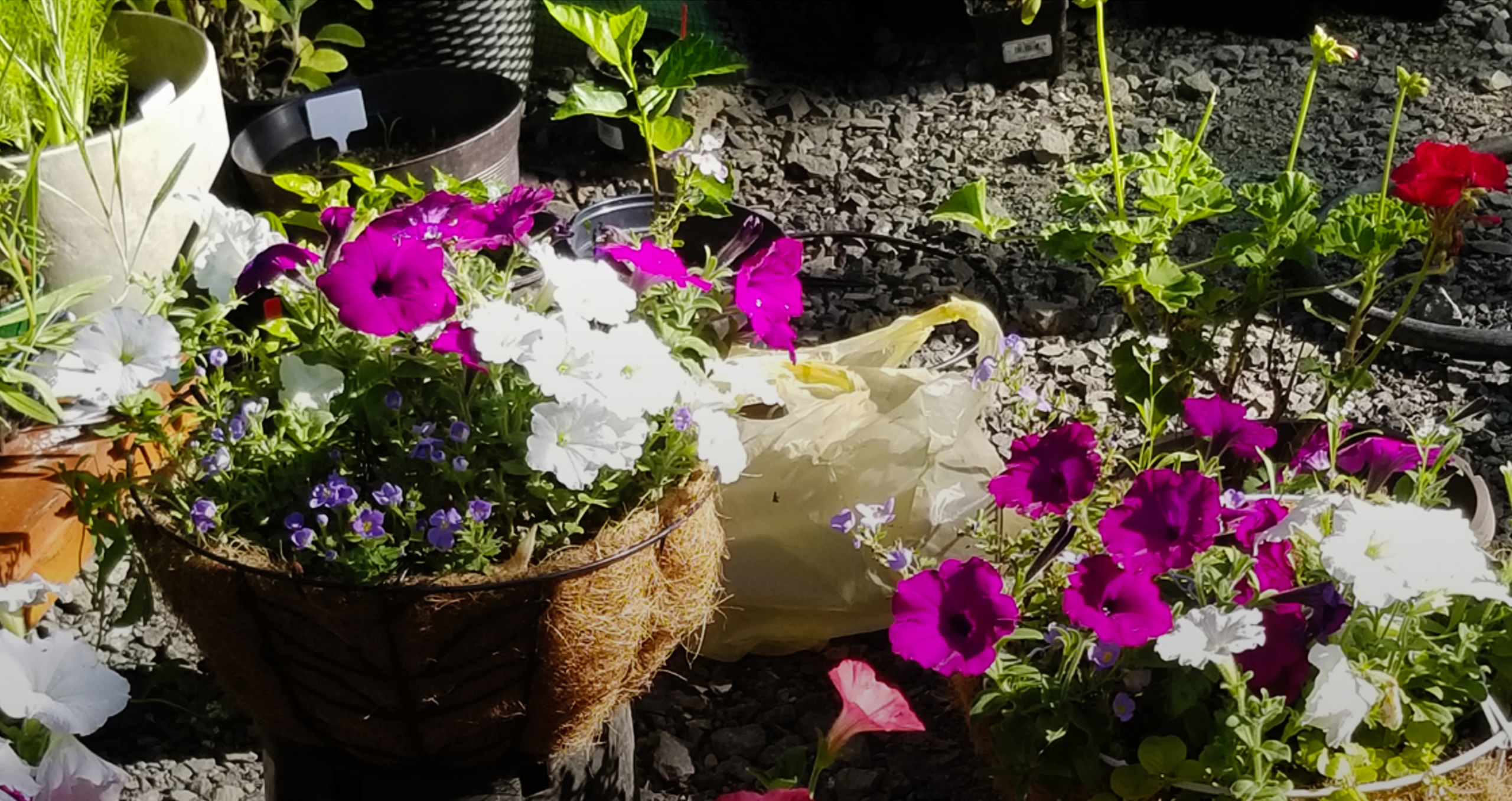 Purple and white flowers in pots on the ground.